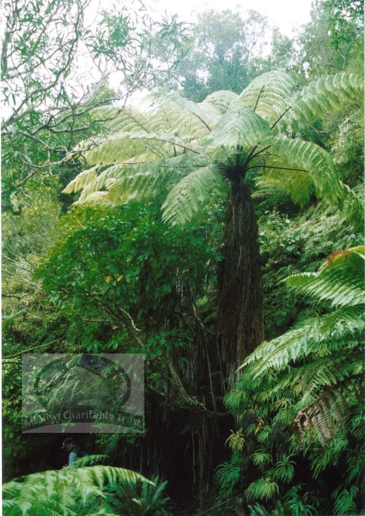 big tree fern